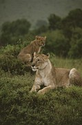 Panthera Photo Posters - African Lionesses In Masai Mara Poster by Anne Keiser