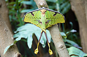 Moon - African Moon Moth 1 by Andee Photography