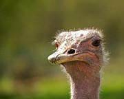 African Ostrich Print by Ivan SABO