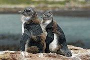 South African Prints - African Penguin Chicks Moulting Print by Peter Chadwick