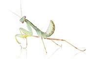 Looking Out Side Prints - African Praying Mantis Print by Piotr Naskrecki