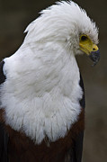 White Pyrography - African sea eagle 5 by Heiko Koehrer-Wagner