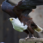 Eagle Photos - African sea eagle  by Heiko Koehrer-Wagner