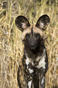 Waist Up Photos - African Wild Dog Okavango Delta Botswana by Suzi Eszterhas