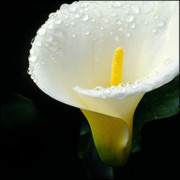 Cala Lily Prints - After Rain Print by Tim Nichols