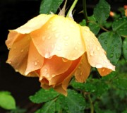 Peach Roses Prints - After the rain Print by Cathie Tyler