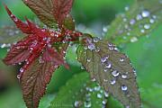 Spirea Posters - After The Rain Poster by Debra Straub