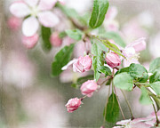 Cherry Blossoms Photos - After the Rain by Lisa Russo