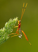 Wasp.insect Prints - After the rain Print by Mircea Costina Photography