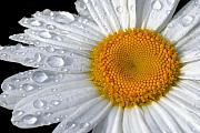Daisies Art - After the Rain by Neil Doren
