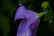 Balloon Flower Posters - After The Rain Poster by Tim Grimmel