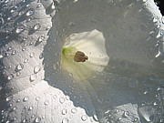 Datura Paintings - After the rain..Datura Innoxia by Jolanta Anna Karolska