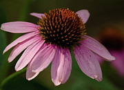 Ohio Photo Originals - Afternoon Coneflower by Maria Suhr