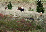 Afternoon Graze Print by Fred Lassmann