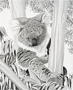 Koala Drawings Posters - Afternoon Nap Poster by Heather Ward