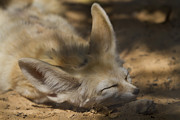 Fox Pyrography Posters - Afternoon nap Poster by Tal Richter