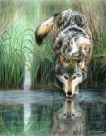 Wolf Drawings Framed Prints - Afternoon Reflection Framed Print by Carla Kurt