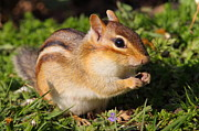 Eastern Chipmunk Photos - Afternoon Snack - Eastern Chipmunk  by Bruce J Robinson