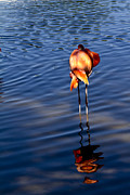 Flamingo Photos - Afternoon Snooze by Rebecca Cozart