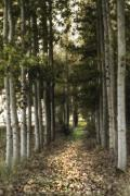 Birch Photos - Afternoon Stroll by Rebecca Cozart