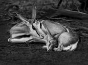 Deer Originals - Against All Odds by Basie Van Zyl