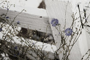 Blue Flowers Metal Prints - Against The Fence Metal Print by Rebecca Cozart