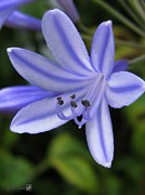 Blue Lily Of The Nile Photos - Agapanthus Blue by J McCombie