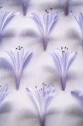 Agapanthus Framed Prints - Agapanthus Buds Framed Print by Neil Overy