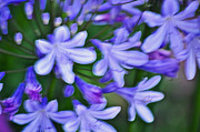 Delicate Bloom Prints - Agapanthus Print by Gwyn Newcombe
