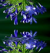 Imagevixen Photography - Agapanthus 