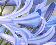 Blue Lily Of The Nile Photos - Agapanthus Trumpets by Judith Turner
