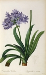 Purple Flowers Prints - Agapanthus umbrellatus Print by Pierre Redoute