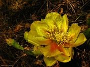 Orange Prickly Pear Blossom Posters - Agave 2012 2 Poster by Joyce Dickens