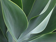 Ranjini Kandasamy Art - Agave 3 by Ranjini Kandasamy