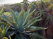 Douglas Barnett - Agave at Sunset