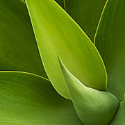 Agave Print by Heiko Koehrer-Wagner
