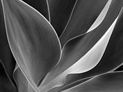 Ranjini Kandasamy - Agave in Black and White