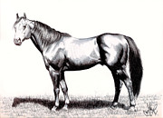 Thoroughbred Drawings - Aged Thoroughbred Stallion by Cheryl Poland