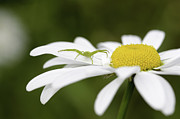 Spider Flower Framed Prints - Aggresive Spider on a Daisy Framed Print by Andrew Campbell