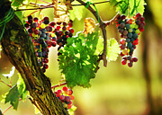 Grapes Digital Art Prints - Agosto Print by John Galbo