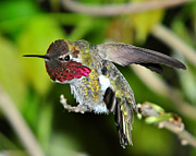 Hummingbird Photos - Agressive by Jack Moskovita