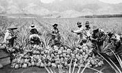 Pineapples Prints - Agricultural Workers, Possibly Print by Everett