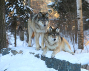 Nature Center Prints - Aidan and Denali-Brothers Forever Print by Gerry Sibell