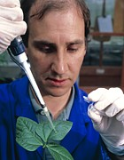 Aids Framed Prints - Aids Plant Vaccine: Researcher Infects Cowpea Leaf Framed Print by David Parker