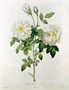 Botany Paintings - Aime Vibere by Pierre Joseph Redoute