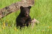 Black Bear Photos - Aint I Cute by Sandra Bronstein