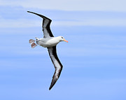 Albatross Prints - Air Breaks Print by Tony Beck