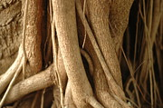 Tree Roots Photos - Air Roots by Noah Katz
