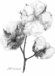 Cotton Drawings Prints - Alabama Cotton Print by Barney Hedrick