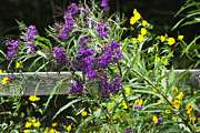 Vernonia Posters - Alabama Purple Ironweed Wildflowers - Vernonia gigantea Poster by Kathy Clark